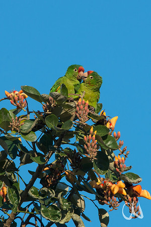 Veraguasittich, Crimson-fronted Parakeet, (Aratinga finschi), Erythrina-Baum, San José, Costa Rica