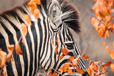 Plains Zebra, (Equus quagga) portrait behind dry Mopane leaves (Colophospermum mopane), Fell, Krüger Nationalpark, Kruger National Park, Südafrika, South Africa