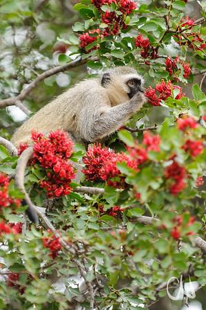 Vervet Monkey (Cercopithecus pygerythrus) feeding on flowers of  Weeping Boer-bean (Schotia brachypetala), Grüne Meerkatze, , Krüger Nationalpark, Kruger National Park, Südafrika, South Africa