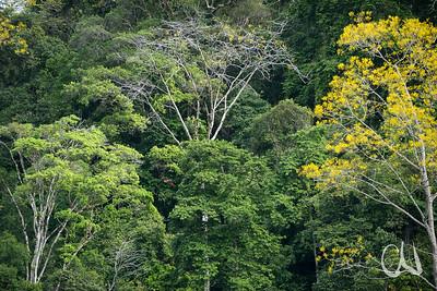 Pazifischer Tieflandregenwald am Golfo Dulce, mit gelb blühenden Gelben Jacarandabäumen, Gallinazo, (Schizolobium parahyba) und roten Aras, Papageien, Pacifico Sur, Costa Rica