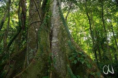 Regenwaldbaum mit Brettwurzeln, Manzanillo-Gandoca, Karibikküste, Costa Rica