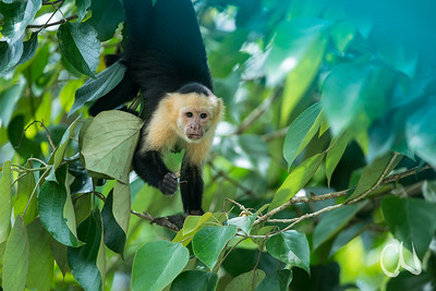 Weißschulter-Kapuzineraffe, White-throated Capucin Monkey, (Cebus capucinus), Rio Sierpe, Sierpe, Costa Rica
