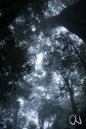 alte Würgefeige, Ficus spec., Kletterbaum, Santa Elena, Monteverde, Costa Rica