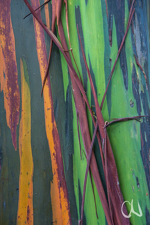 bark of rainbow eucalyptus, Eucalyptus deglupta, native to New Guinea, San José, Costa Rica