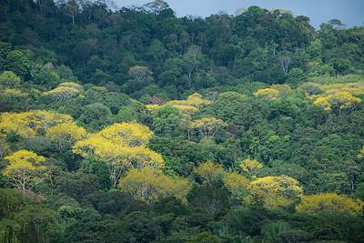 Pazifischer Regenwald, küstennah, mit gelb blühenden Gallinazo, (Schizolobium parahyba), Fabaceae, Costanera Sur, Küstenstrasse 34, Pacifico Sur, Costa Rica