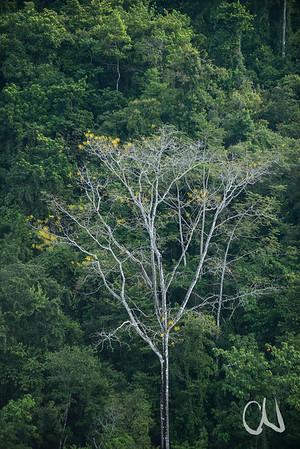 Pazifischer Tieflandregenwald am Golfo Dulce, mit gelb blühenden Gelben Jacarandabäumen, Gallinazo, (Schizolobium parahyba), Fabaceae, Pacifico Sur, Costa Rica