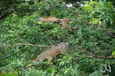 Grüner Leguan, (Iguana iguana), Iguana-Bridge, Muelle de San Carlos, Costa Rica