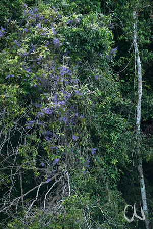 Purpurkranz, Machiguá, Queen´s Wreath, (Petrea volubilis), Kletterpflanze, Golfo Dulce, Pacifico Sur, Südpazifikregion, Costa Rica