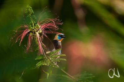 Eine Purpurmaskentangare (Tangara larvata) im Regenwald von Costa Rica kommt zum Nektar naschen zur Blüte der Engelshaar-Mimose Calliandra calothyrsus. Die langen roten Fäden sind die Staubblätter der Mimosenblüte, die Nektardrüsen (Nektarien) liegen am Grund der Fäden. Die Vögel ernähren sich sonst hauptsächlich von Früchten und Insekten. Tangare (Thraupidae) sind eine der farbenprächtigsten und artenreichsten Vogelfamilien; sie kommen ausschließlich in Amerika und dabei vor allem in tropischen Wäldern vor.