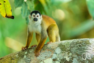 Mittelamerikanische Totenkopfaffe oder Rotrücken-Totenkopfaffe, Totenkopfäffchen, Central American Squirrel Monkey, (Saimiri oerstedii), Rio Sierpe, Sierpe, Costa Rica