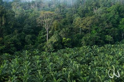 Oil palm plantation in Costa Rican rainforest