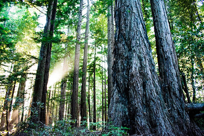Redwoods at Redwood State Park, Washington