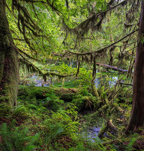 Hoh Rain Forest, Washington