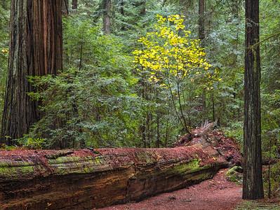 Humbolt Redwoods Fallen Tree