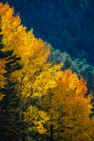 The changing Aspen leaves in the Santa Fe national forest are truly a sight to behold.