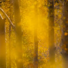 The stunning gold colors of the changing aspen leaves in the Santa Fe national forest are absolutely breathtaking!