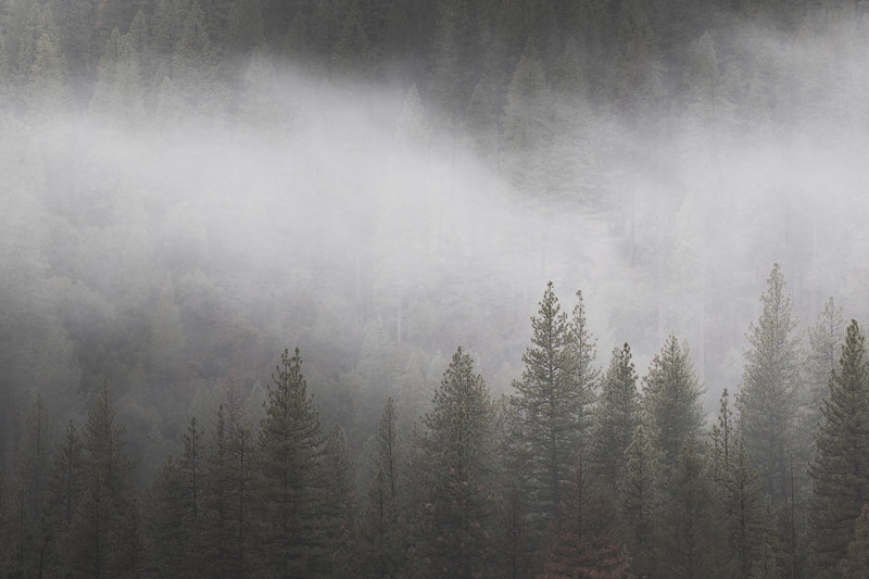 Fog Over Pines
