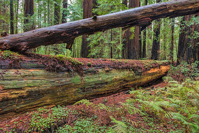 Humbolt Redwoods Crossed Trees