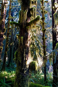 Forest Portrait: Korembi, Hoh Rainforest | Olympic National Park