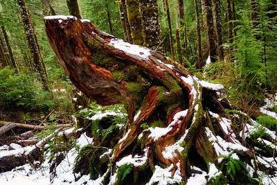 Frog Tree, Big Four Mountain | Mt. Baker-Snoqualmie National Forest