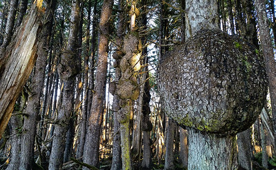 Spruce Burl Forest | Olympic National Park