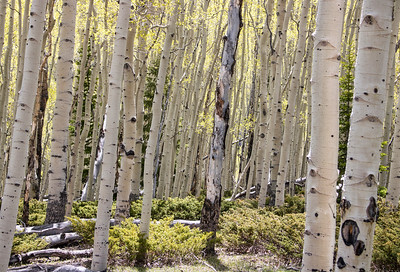 Aspen Grove, Pando Forest | Fishlake National Forest