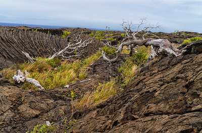 Forest Portrait: Koa Tree | Hawaii Volcanoes National Park