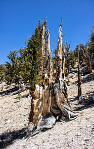 Forest Portrait: Bristlecone Pine, Methuselah Grove | Inyo National Forest