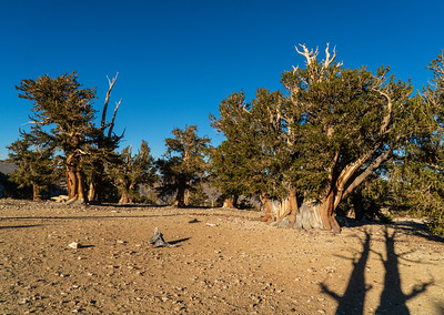 Forest Portrait: The Patriarch, Patriarch Grove | Inyo National Forest