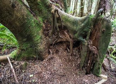 Forest Portrait: Elephant Tree | Cape Flattery, Washington