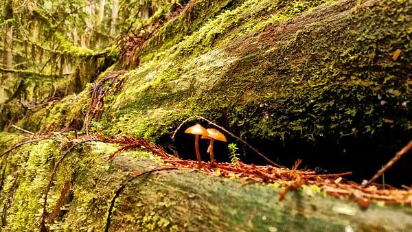 Forest Portrait: Cedar and Psilocybe, Carbon River Rainforest | Mt. Rainier National Park