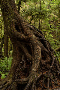 Forest Portrait: Nurse Tree | Olympic National Park
