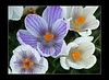 crocus 3_edited-1