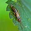 Earwig, Forficula Auricularia