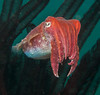 Crinoid Cuttlefish -6902-Edit