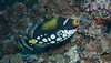 Clown Triggerfish-7931