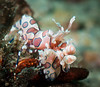 Harlequin Shrimp-6822