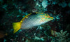 Checkerboard Wrasse-8235