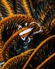 Crinoid Crab -8136
