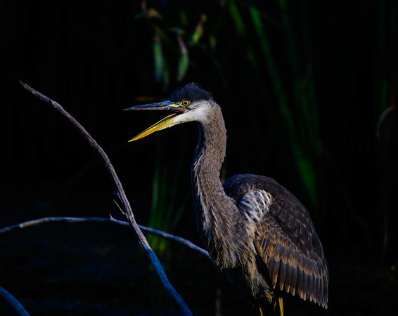 Great blue heron in the spotlight