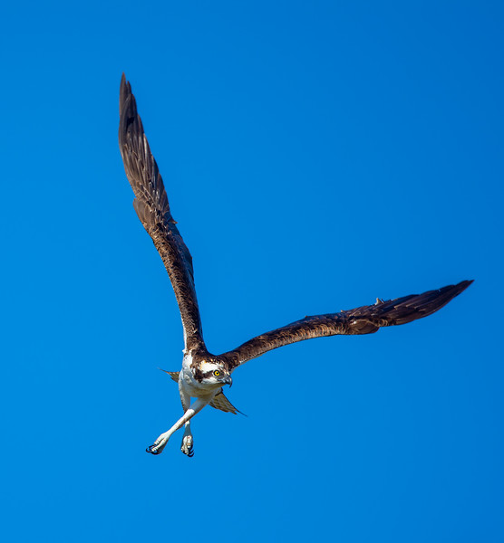 Osprey skating on air
