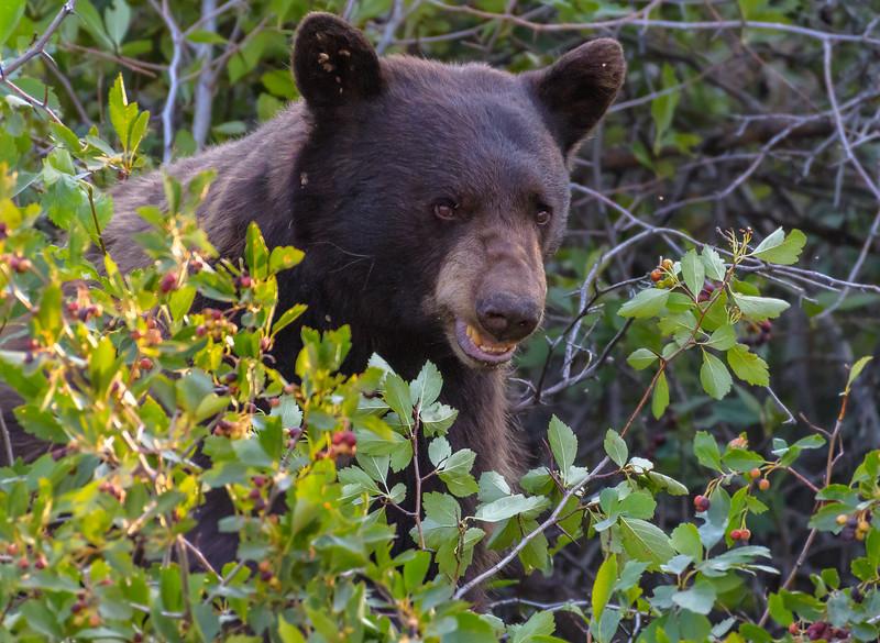 Black bear protecting his Hawthorne berries