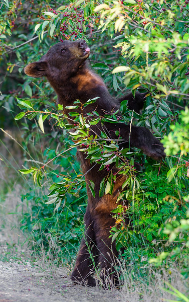 Young black bear eating wild cherries