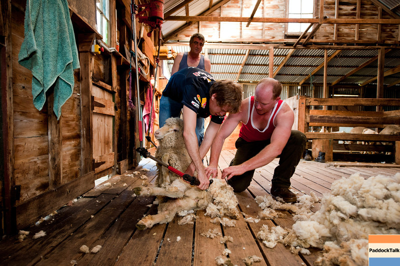 GEPA-23031199007 - FORMULA 1 - Grand Prix of Australia, preview. Image shows Sebastian Vettel (GER/ Red Bull Racing), shearer Travis Scott, shearer Ron Nolen and a sheep at Warrok Cattle Farm. Photo: Getty Images/ Mark Watson - For editorial use only. Image is free of charge