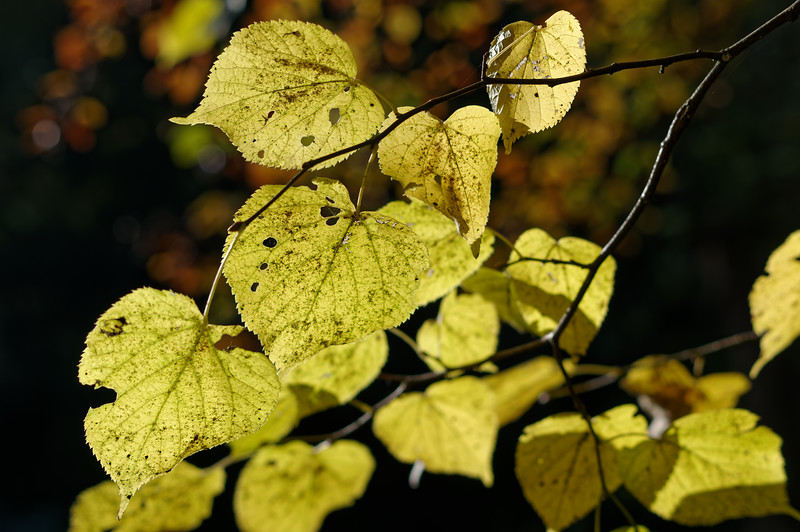 Detail of large-leaved lime, ablaze with autumn colour