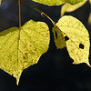 Autumnal large-leaved lime, close-up