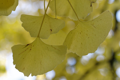 Ginkgo tenderness