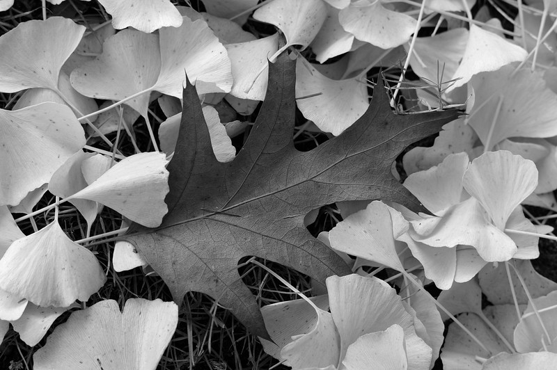 Finds under the ginkgo tree (b/w)