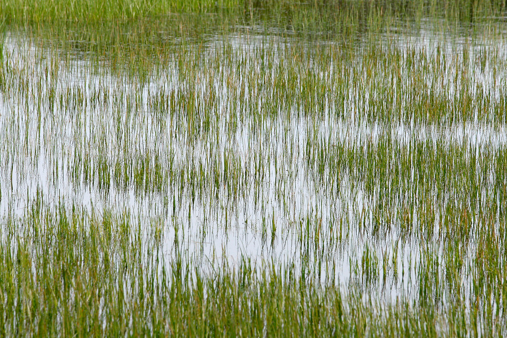 . Grass grows through a full vernal pond on the Bureau of Land Management area of Fort Ord on Wednesday, April 5, 2017.  The above average rainfall in Monterey County has filled the approximately forty-five ponds, lakes and vernal pools to full levels.   (Vern Fisher - Monterey Herald)