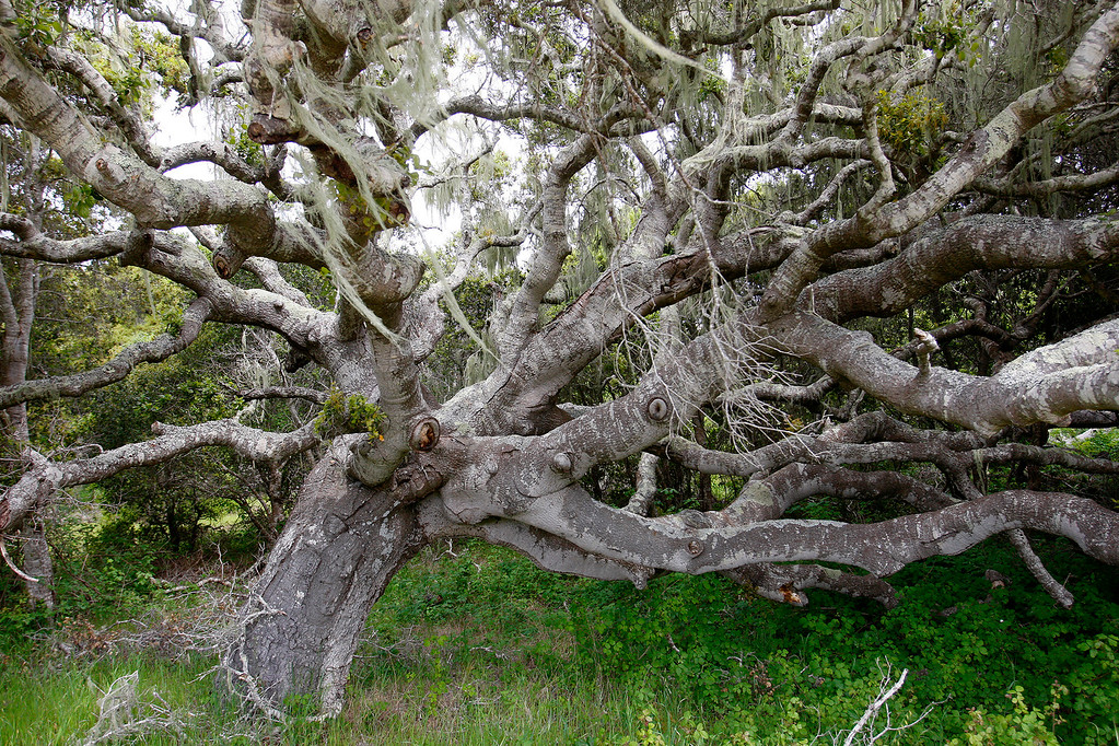 . A very old and large coast live oak tree on the Bureau of Land Management area of Fort Ord on Wednesday, April 5, 2017.  The above average rainfall in Monterey County has filled the approximately forty-five ponds, lakes and vernal pools to full levels.   (Vern Fisher - Monterey Herald)